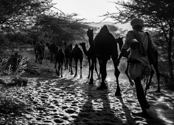 camels Umesh Gogna